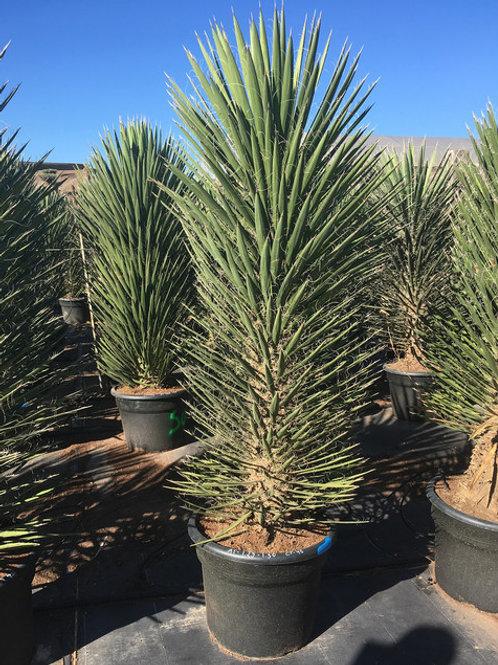 China Palm (yucca filifera)