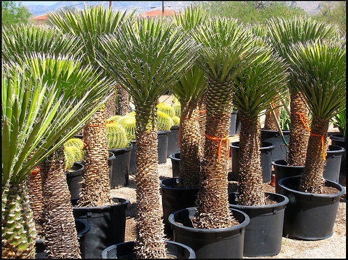China Palma (yucca desipians)