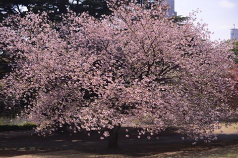 春 一棵盛開的櫻花