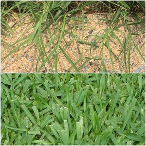 Bermuda vs St Augustine Grass