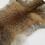 Thumbnail: Australian Red Fox