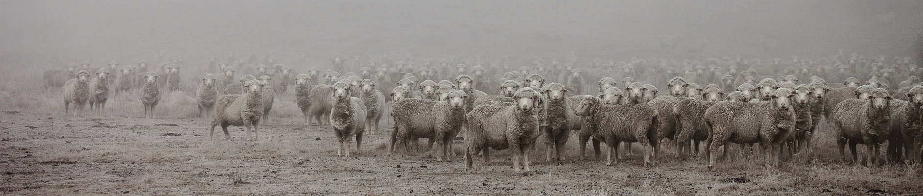 Merino sheep Cairn Station