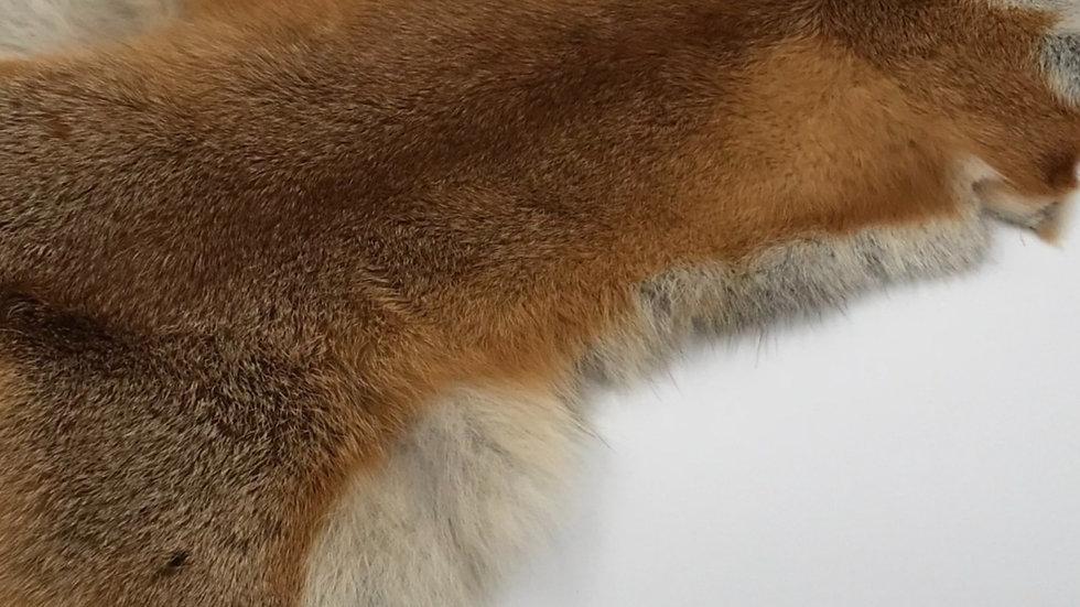 Australian Red Fox