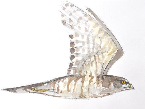 Sparrow Hawk Original Painting