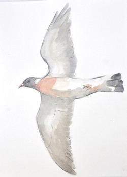 Wood Pigeon Wildbird Watercolour Paintin