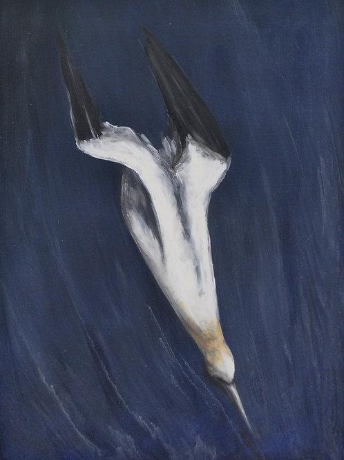 Gannet On Canvas