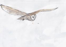 29 flying Barn Owl copy.jpg