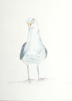 xnov Herring gull copy.jpg
