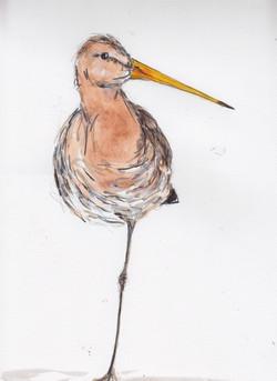 blacktailed godwit.jpg