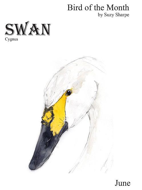 Bird of the Month June - Swan