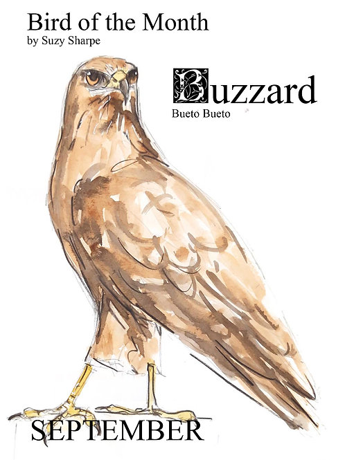 Bird of the Month - September Buzzard