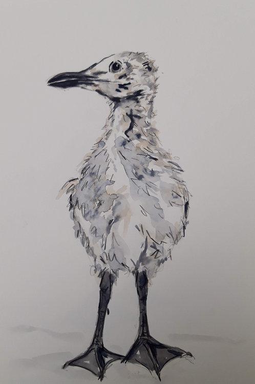 Still Fluffy Herring Gull