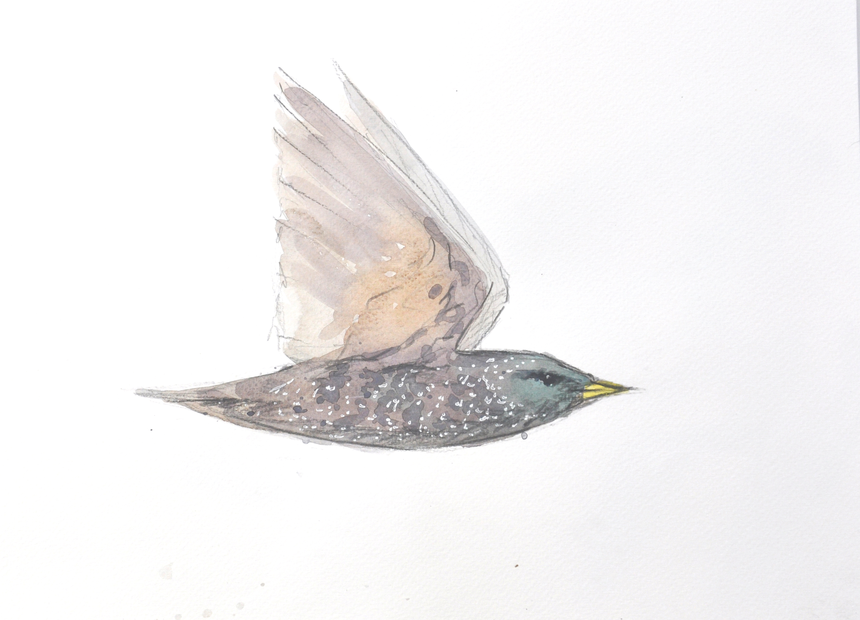 Starling Wildbird Watercolour Painting