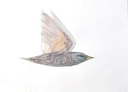 Starling Wildbird Watercolour Painting