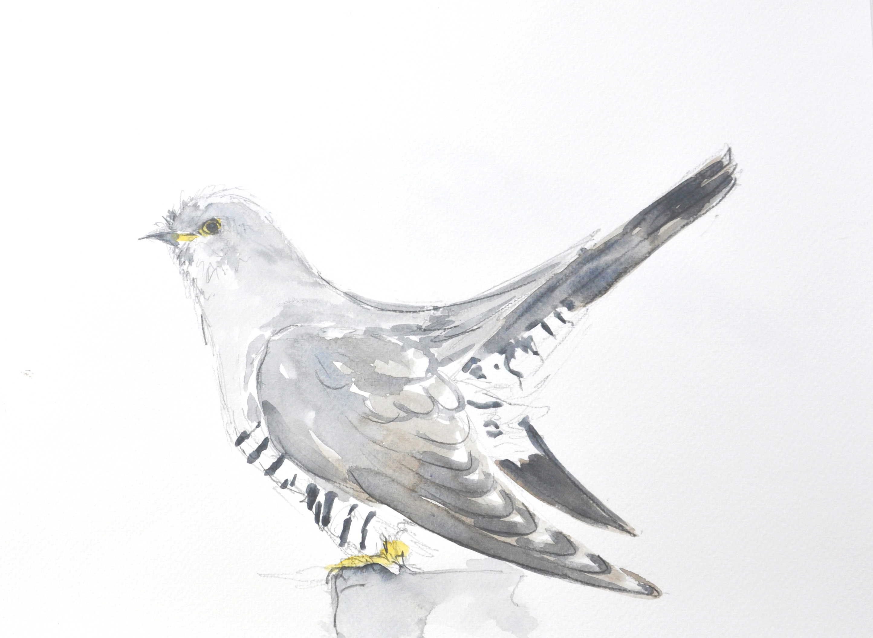 Cuckoo Wildbird Watercolour Painting