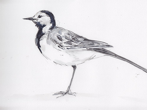Pied Wagtail Painting