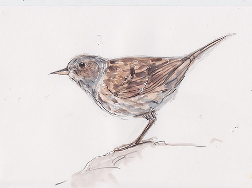 Hedge sparrow (dunnock)Painting