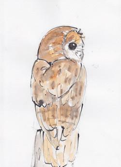 29 perching tawny Owl copy.jpg
