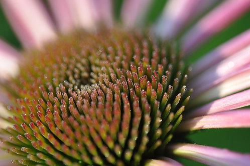 Macro Photography, Cone Flower