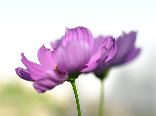 Macro Photography, Purple Cosmos