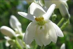 モリンガの花の画像_edited.jpg