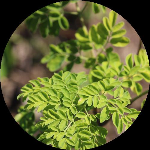 モリンガの葉3.png
