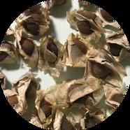 モリンガ種子3四角_0524111602.png