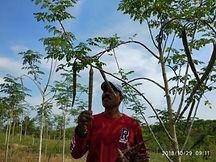 2018年10月モリンガの実収穫.jpg