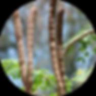 丸抜きモリンガの莢(乾燥).png