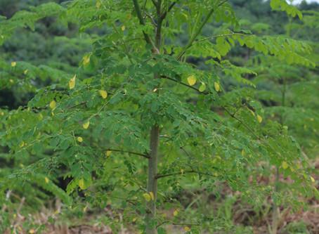 気候変動への樹木の役割とモリンガのチカラ
