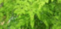 モリンガの葉 (2).jpg