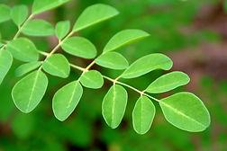 モリンガの綺麗な葉.jpg