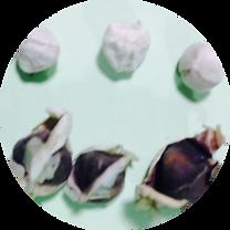 1モリンガの種子中身_0707044030.png
