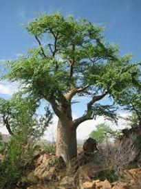 奇跡の木モリンガ