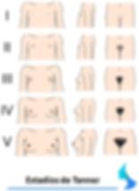 Desarrollo de la mama
