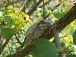 frog on clove currant