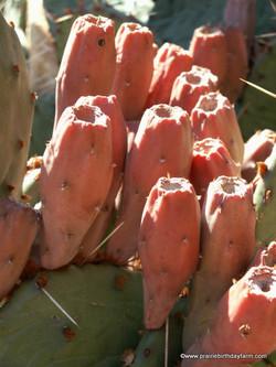 "prickly pear cactus ""tuna"""
