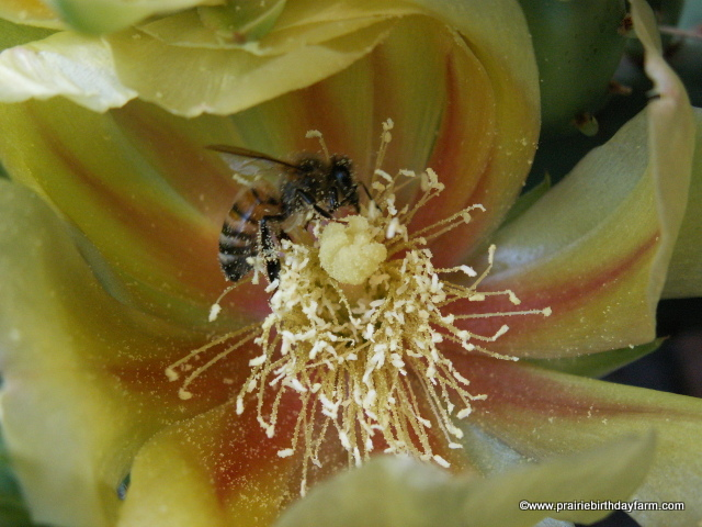 honey bee on cactus flower