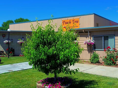 The peach tree in the front of Peach Tree Retirement Center.