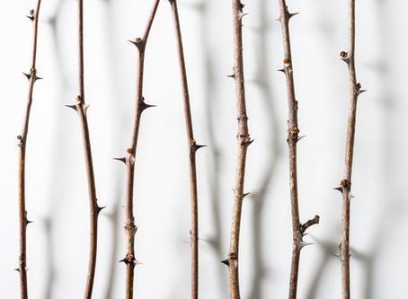 Zingy Zanthoxylum americanum...aka:  Northern Prickly Ash