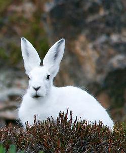 arctic-hare-828994 2.jpg