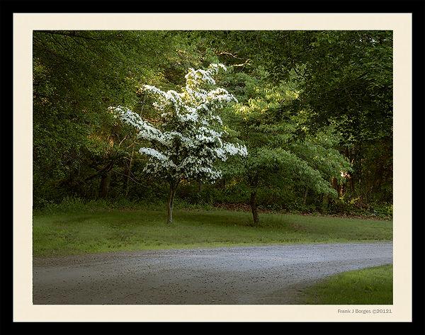 Prudence Tree number 5  web.jpg