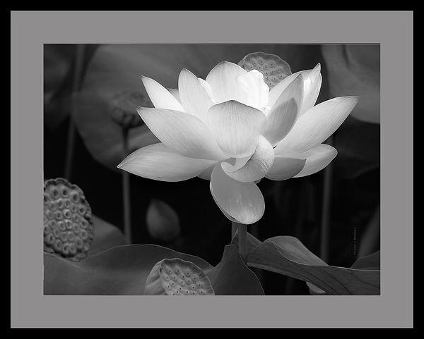 RI__Lotus_with_Pod__Frank_J_Borges__2009