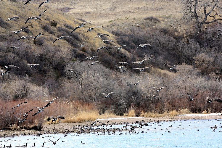 Geese taking flight on the Bighorn
