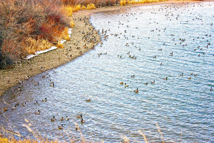 Ducks socializing on the Bighorn River