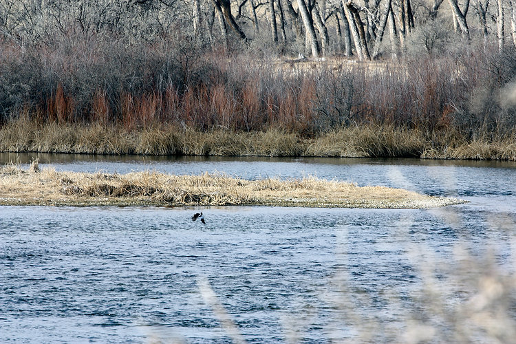 Bighorn River duck taking off.