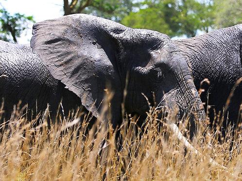 """Shimmering and Hot"", Elephants in Uganda"