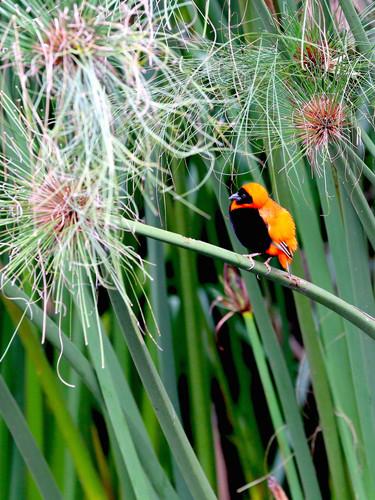 Bird-in-Orange_IA_Nordquist-SMALL.jpeg