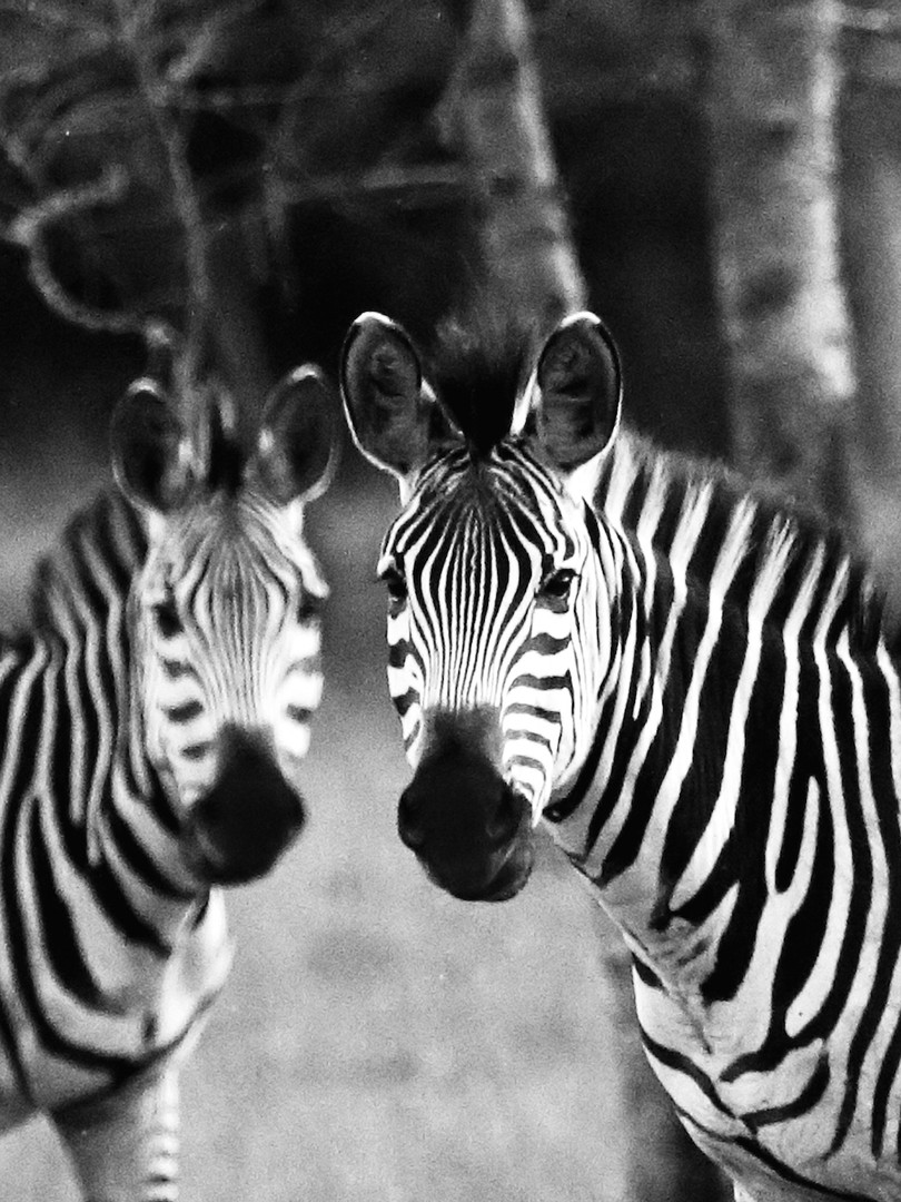 Zebra_Mel_IA_small.jpeg