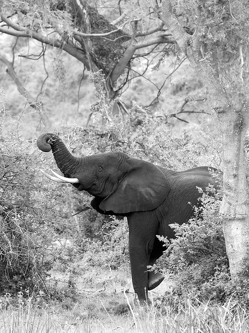 """Black Elephant enjoying Greens"" (Uganda)"